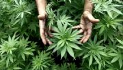 Reglamentaron parcialmente la ley que autoriza el uso medicinal del cannabis