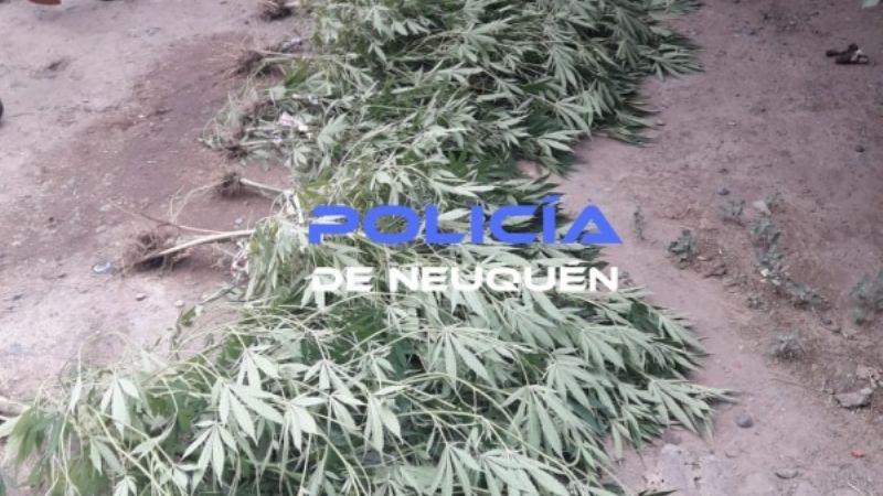 Dieron con 56 plantas de marihuana en Confluencia