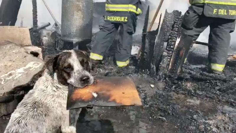 Video: Perrito llora desconsolado porque le incendiaron su casa